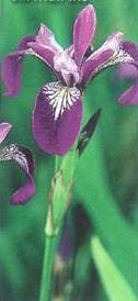 iris-siberiano