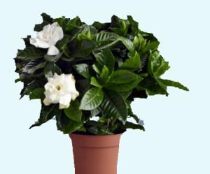 Cultivar Gardenias dentro de casa