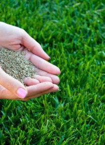 Successful grass seeding - woman hands holding grass seed