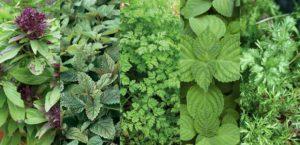 ervas aromáticas6