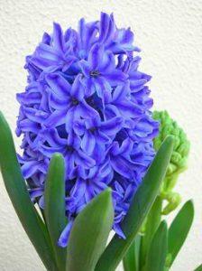 Plantação de Bolbos de interior - Jacinto Azul